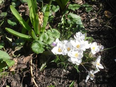 Vita krokus och rosa hyacinter, och så de där frösådda cyklamenplantorna överallt.