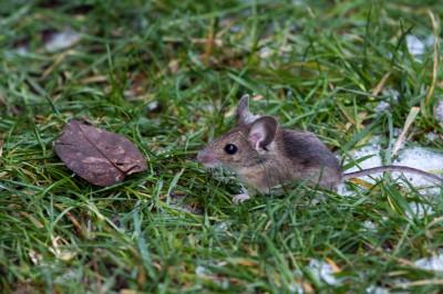 Den här lilla rackaren fångade vi i köket i tisdags. Som straff fick den stå fotomodell ute på gräsmattan.