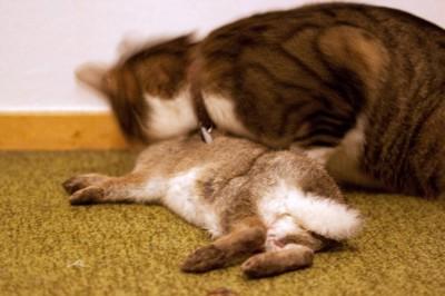 Katt med kanin
